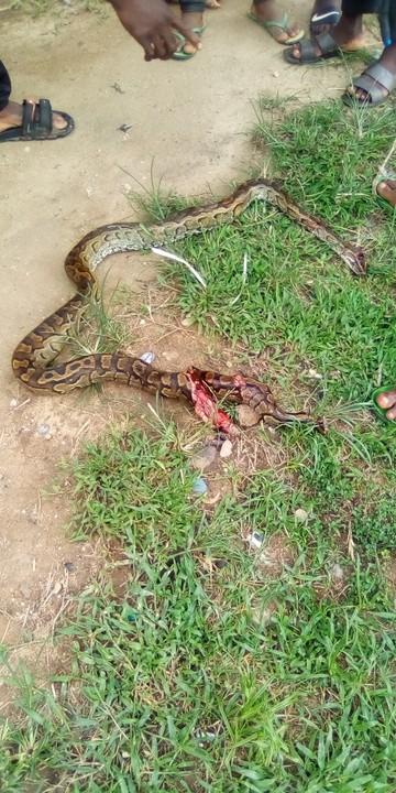 Big Python Killed In Calabar